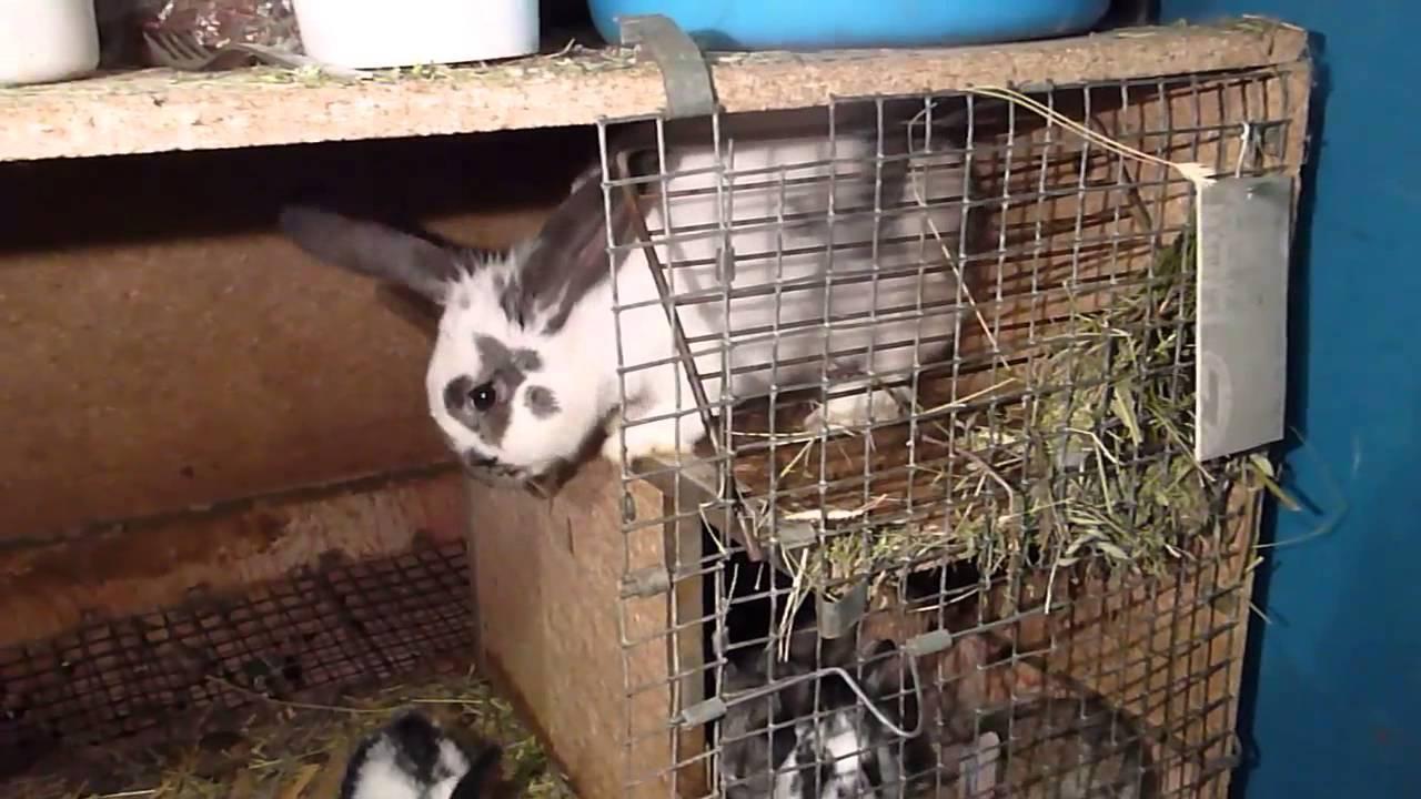 Кролиководство. спаривание кроликов, подготовка, когда подсаживать