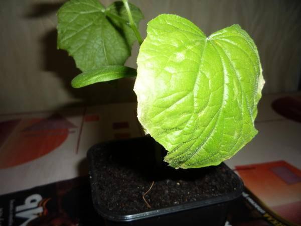 Почему сохнут листья у огурцов: причины, что делать, методы лечения