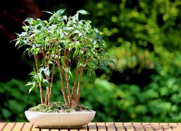 Фикус кинки уход в домашних условиях - садоводство