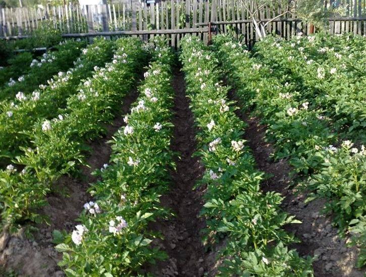 Всё о цветении картошки – важные правила ухода за кустом