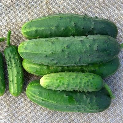 Семена овощей сибирской селекции - 7 самых урожайных сорта для сибири и северных районов, лучшие самоопыляющиеся огурцы