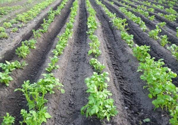 Препарат лазурит от сорняков на картошке, видео, как развести лазурит от сорняков, обработка сорняков лазуритом  