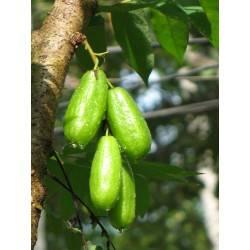Огуречное дерево билимби: как вырастить, польза и вред, фото