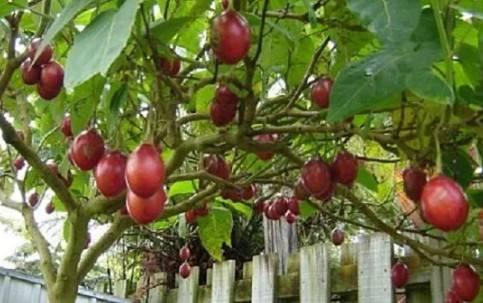 Томат марманде marmande: описание, отзывы, фото, урожайность