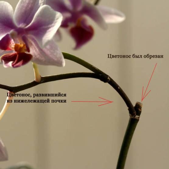 Как омолодить орхидею фаленопсис: можно ли обрезать воздушные корни и видео о том, как обновить растение в домашних условиях