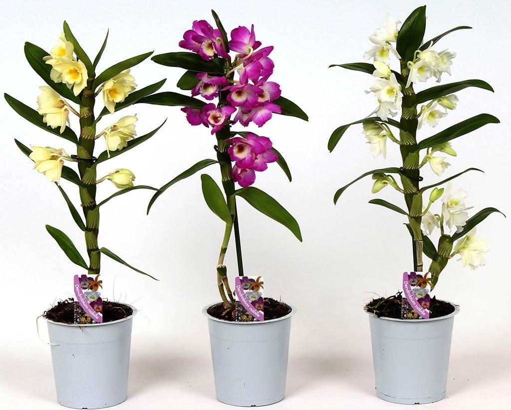 Орхидея дендробиум нобиле (50 фото): правила ухода в домашних условиях, способы размножения орхидеи. что делать после цветения? тонкости пересадки