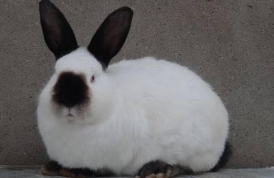 Калифорнийский кролик: характеристики кроликов калифорнийской породы