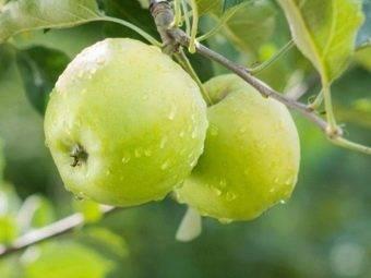 Яблоня гренни смит — описание сорта, фото, отзывы