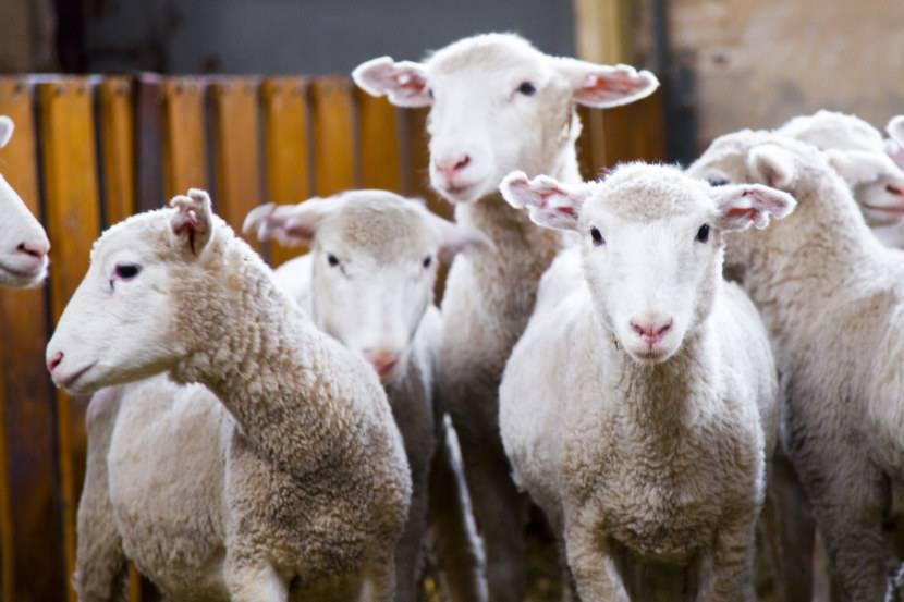 Баран - образ жизни, среда обитания, выращивание и уход за овцами и баранами (100 фото)