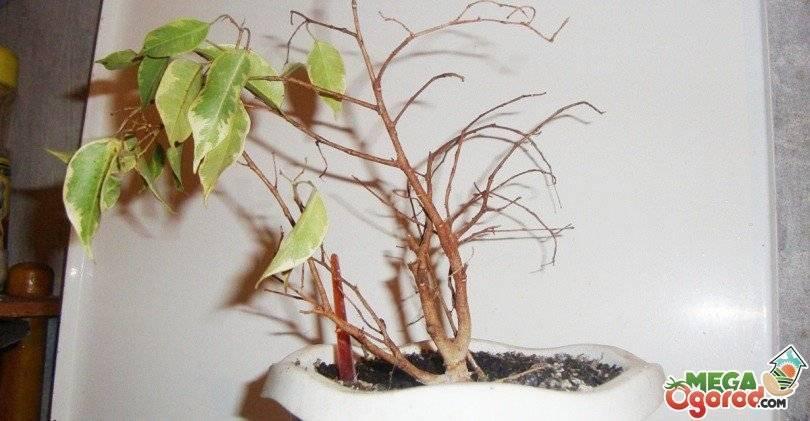 По какой причине фикус бенджамина сбрасывает листья и что делать?