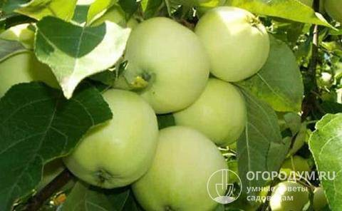 Яблоня черненко: описание сорта с фото, особенности ухода