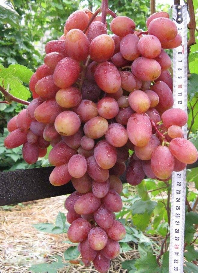 Характеристики сорта винограда Юлиан — особенности выращивания