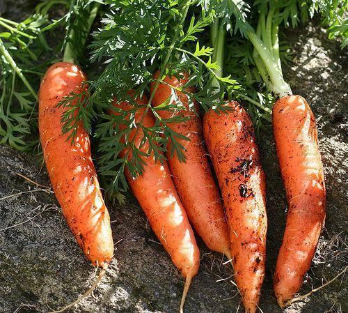 Чем обработать морковь от вредителей
