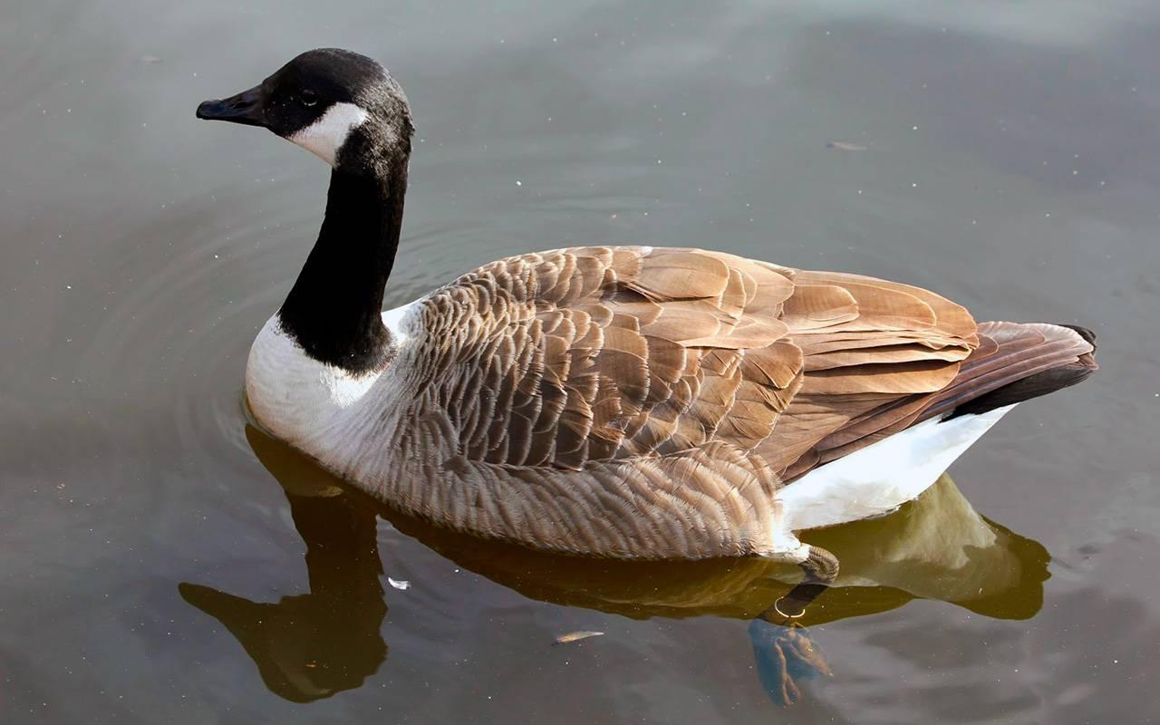 Успенский с. наши утки и гуси. гуси. белощекая казарка. канадская казарка - электронная биологическая библиотека