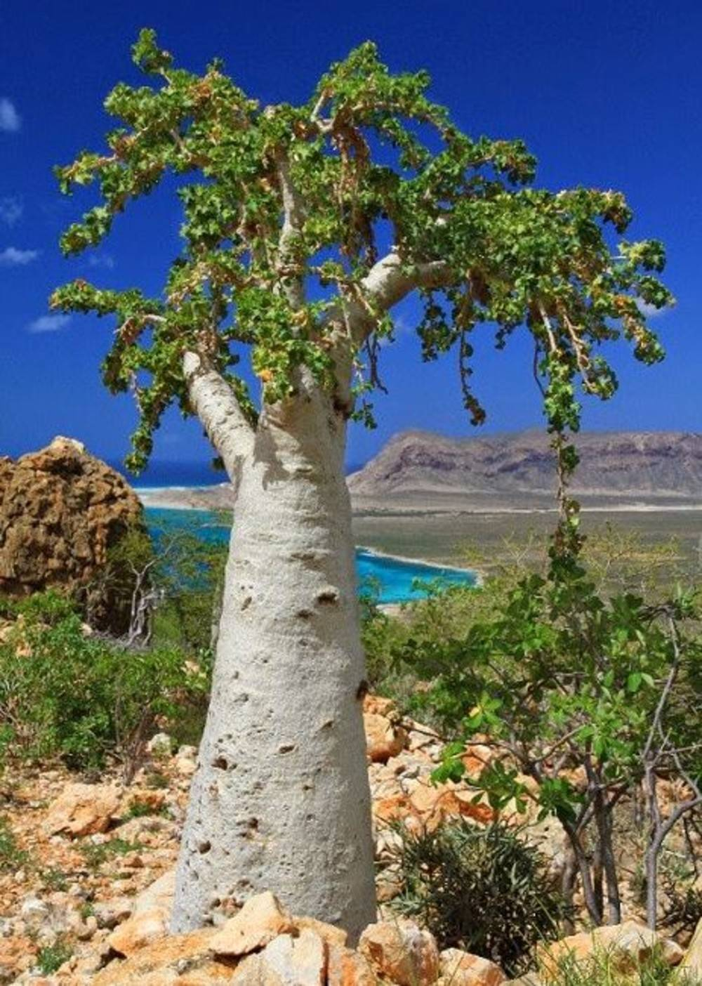 Огуречное дерево билимби - агрономы