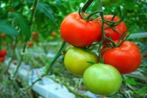 Выращивание помидоров по методу галины кизимы