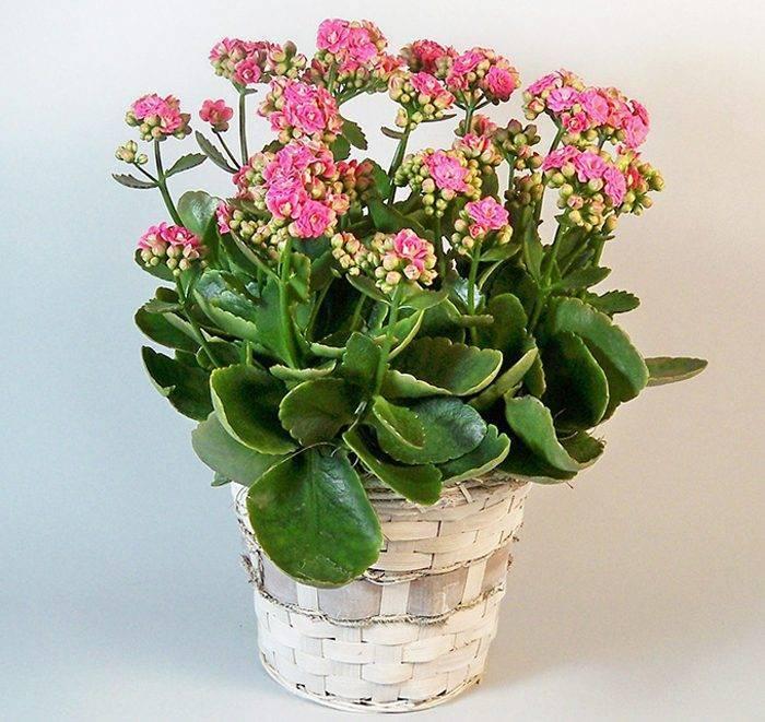 Каланхоэ - размножение листом и черенками в домашних условиях, особенности выращивания