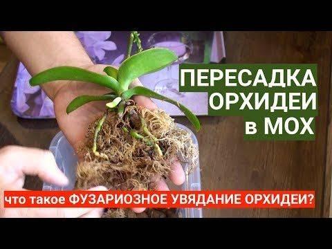 Уход за орхидеей после пересадки: почему листья желтеют и становятся вялыми, что с этим делать, как в домашних условиях помочь растению, и когда оно зацветет? selo.guru — интернет портал о сельском хозяйстве