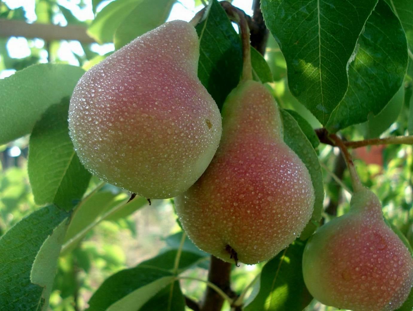 Сорта груш: лучшие виды, названия и описание