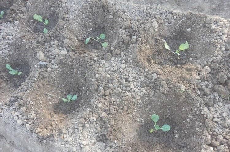 Как хранить квашеную капусту зимой: в домашних условиях в квартире, как правильно в погребе, можно ли на морозе, в чем лучше?