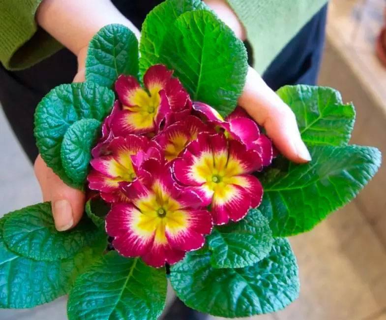 Примула комнатная или первоцвет. уход и выращивание в домашних условиях. выращивание примулы, пересадка и размножение