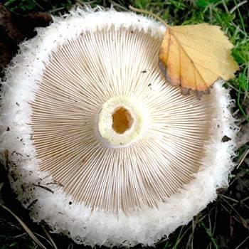 Подгруздок белый, сухой груздь или гриб сухарь: фото, описание и рецепты приготовления