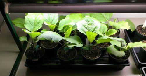 Что любит рассада баклажан. баклажаны выращивание и уход в открытом грунте.