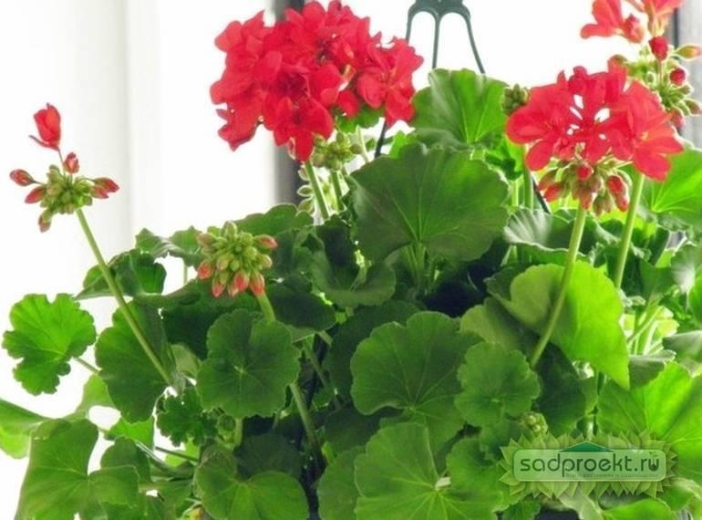 Выращивание и уход за геранью в домашних условиях