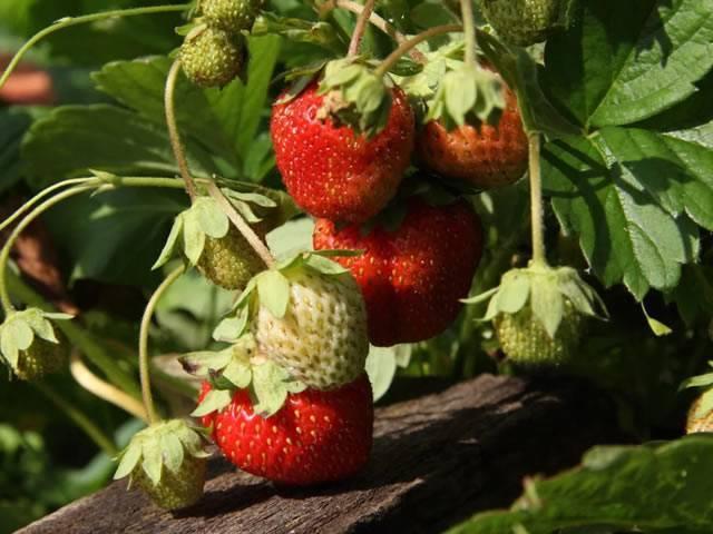 Земляника корона: выращивание, описание сорта, фото и отзывы