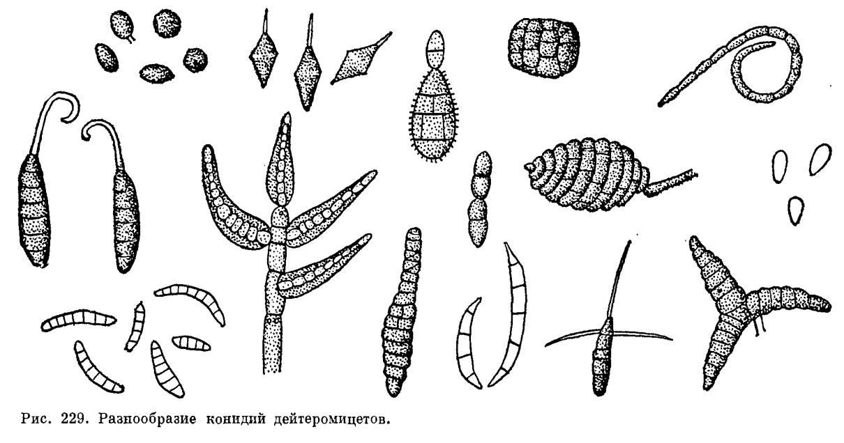 Несовершенные грибы - википедия