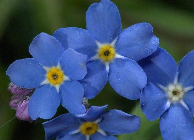 Цветы незабудки посадка и уход в открытом грунте незабудка выращивание из семян на рассаду фото