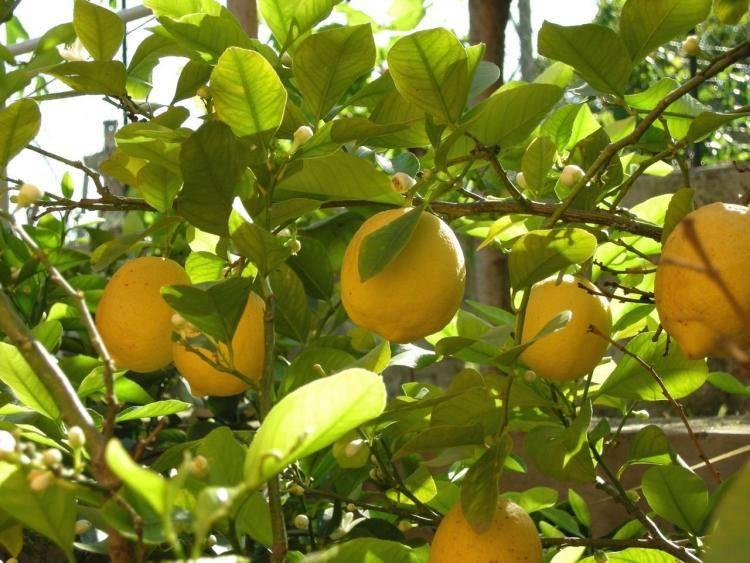 Лимон мейера. выращиваем и ухаживаем в домашних условиях
