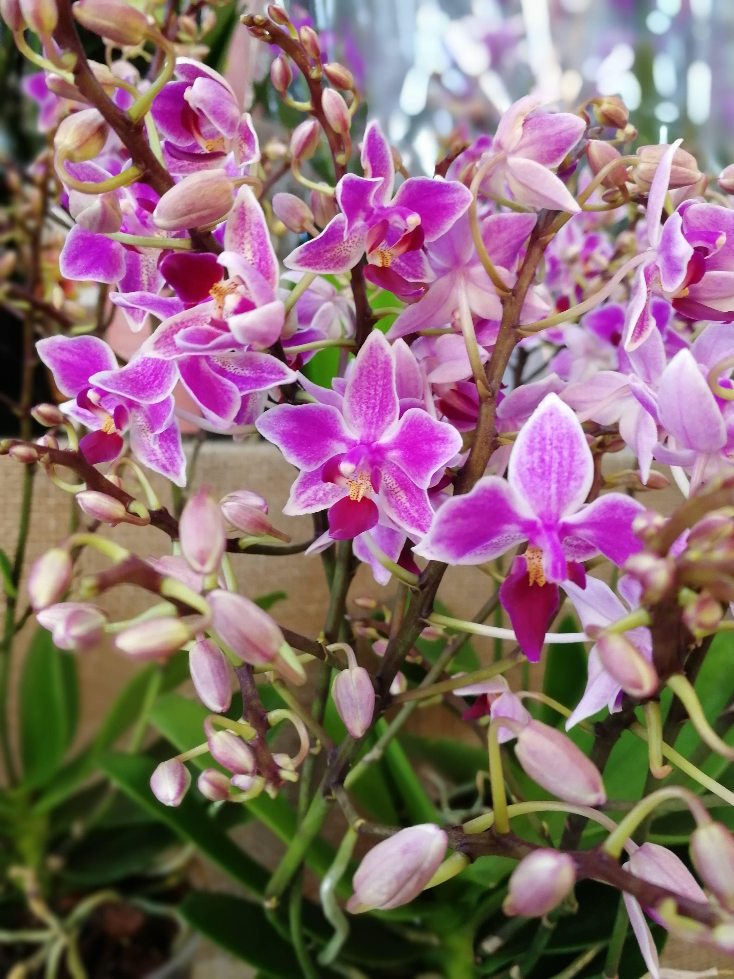 Фаленопсис тетраспис — самая нетребовательная орхидея. уход в домашних условиях. фото — ботаничка.ru