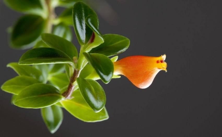 Гипоцирта: фото, виды и способы ухода за цветком в домашних условиях | спутниковые технологии