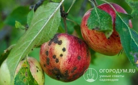 Сорт яблок штрифель описание, фото, отзывы