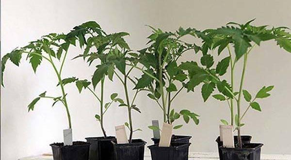 Рассада помидор перерастает, а высаживать еще рано - как замедлить рост рассады