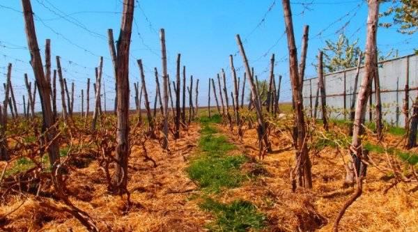 Особенности утепления винограда в сибири: как правильно укрыть на зиму