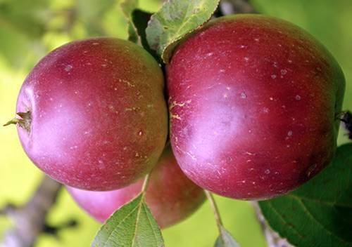 Яблоня коваленковское: описание, фото, отзывы