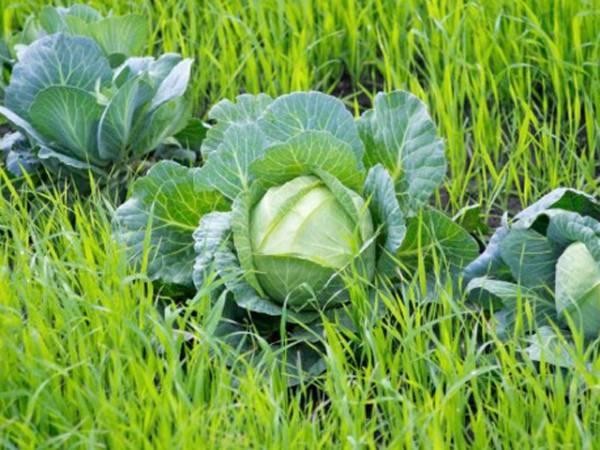 Топ-9 сидератов для огорода и сада