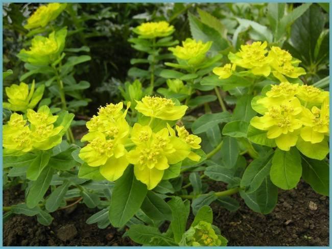 Молочай многолетний садовый: посадка, особенности ухода и выращивания
