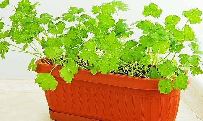 Как вырастить свежую зелень на подоконнике в домашних условиях