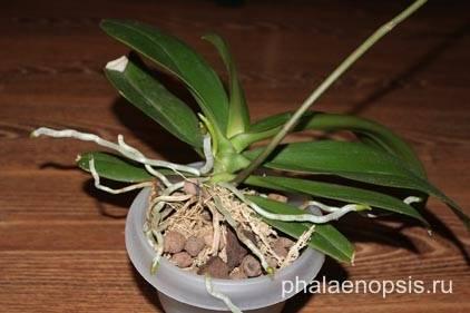 Почему у орхидеи сохнут воздушные корни: причины и эффективные методы реанимации + отличия здоровых и сухих отростков