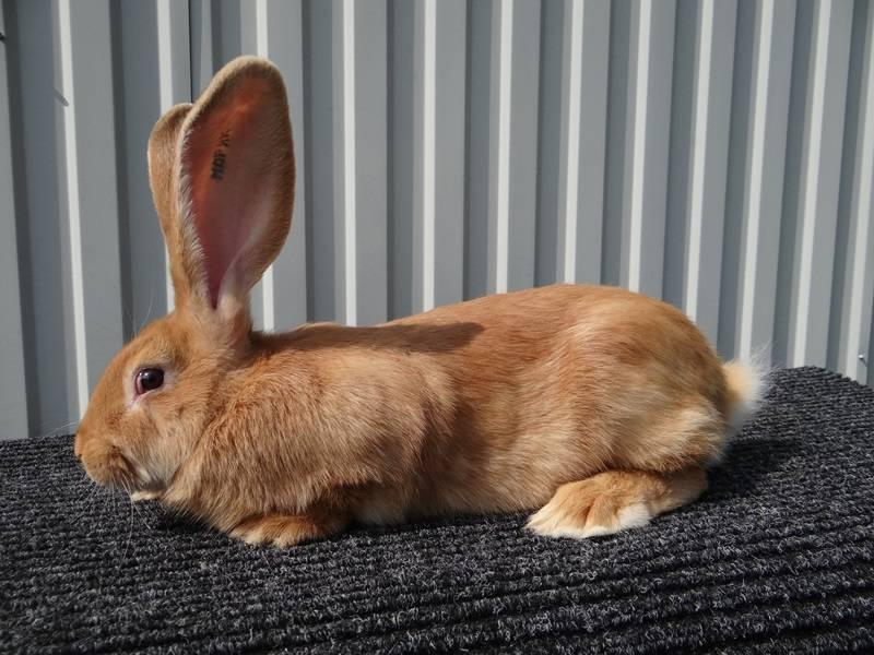 Лисий карликовый кролик: особенности породы и содержания