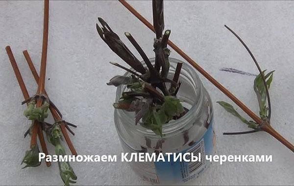 Как размножить клематис весной и летом: черенками, отводками, семенами
