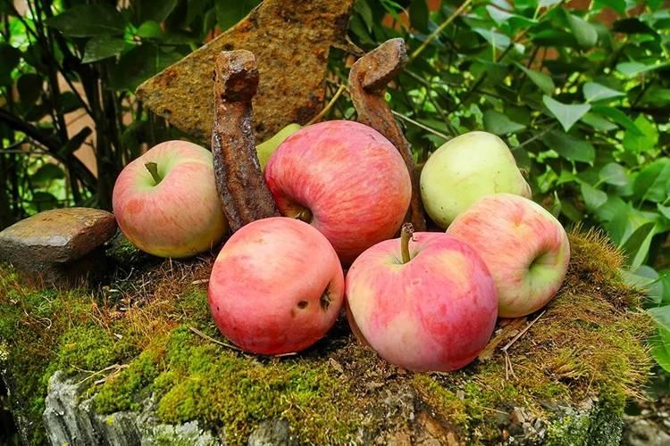 Популярная яблоня мельба
