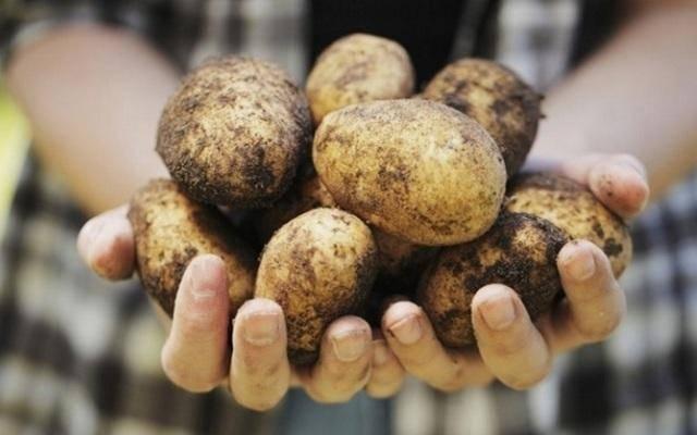 Картофель ласунок: описание сорта, фото, отзывы