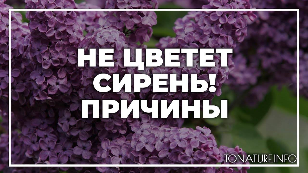 6 правил безупречного ухода за сиренью — ботаничка.ru