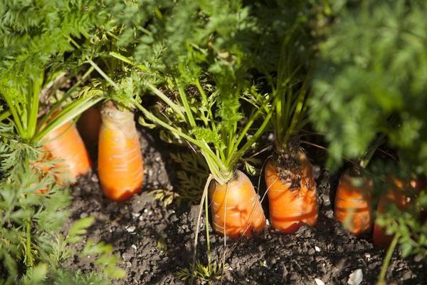 Почему морковь оранжевая когда и как стала такой окраски