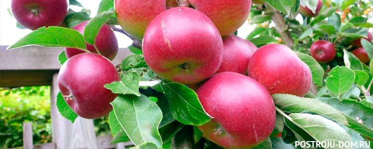 Правила и сроки весенней посадки яблони