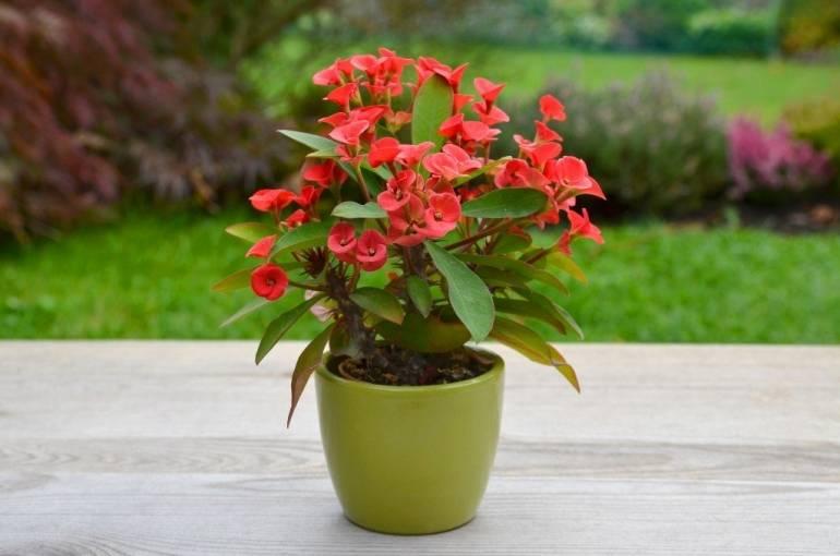 Молочай миля: фото, описание сортов цветка, размножение, уход в домашних условиях